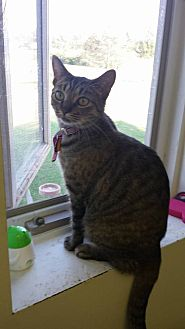 Domestic Shorthair Cat for adoption in Owenboro, Kentucky - STAR