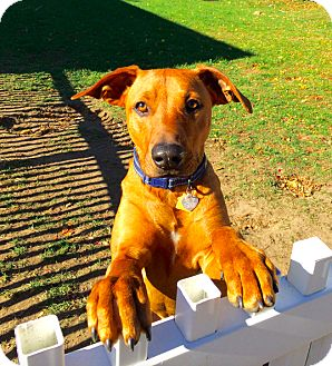 Redbone Coonhound/Rhodesian Ridgeback Mix Dog for adoption in New York, New York - Lionel