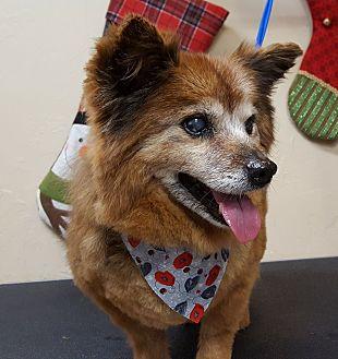 Pomeranian Dog for adoption in Norman, Oklahoma - Leroy