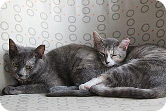 Domestic Shorthair Kitten for adoption in Brooklyn, New York - Sofia and Mindi