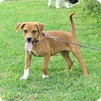 Adopt A Pet :: POPPY - Bedminster, NJ