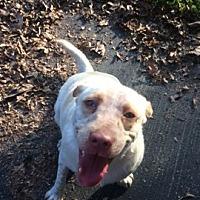 Labrador Retriever/Pointer Mix Puppy for adoption in Russellville, Kentucky - Ricky