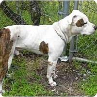 Adopt A Pet :: Balboa - Chicago, IL