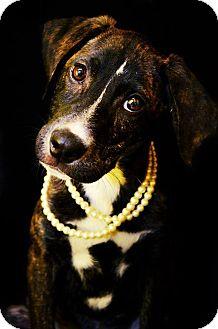 Labrador Retriever Mix Dog for adoption in Fort Smith, Arkansas - Bree