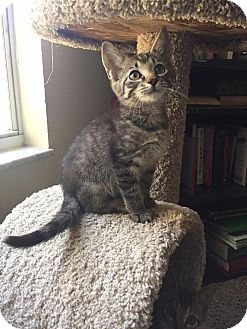 Domestic Shorthair Kitten for adoption in Gainesville, Florida - John