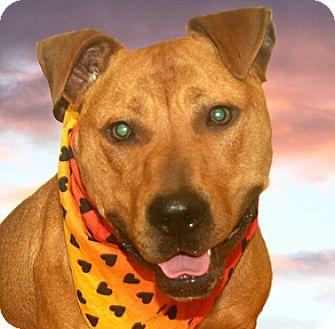 American Pit Bull Terrier Mix Dog for adoption in Cincinnati, Ohio - Marlon