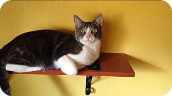 Domestic Shorthair Kitten for adoption in Scottsdale, Arizona - Figaro