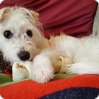 Adopt A Pet :: Phoebe - Mt. Prospect, IL