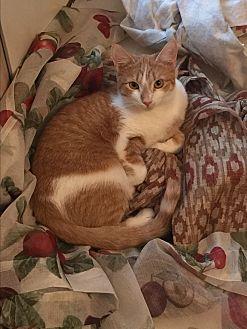 Domestic Shorthair Cat for adoption in Greensburg, Pennsylvania - Lettie