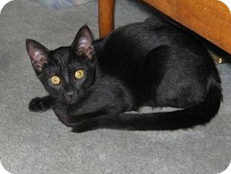 Domestic Shorthair Kitten for adoption in Kirkwood, Delaware - Scooter