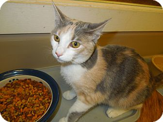 Domestic Shorthair Cat for adoption in Medina, Ohio - Justine
