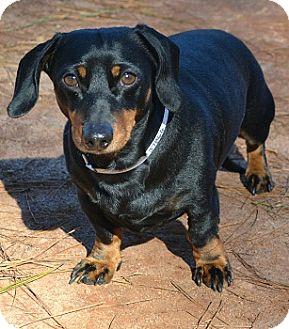 Dachshund Mix Dog for adoption in Athens, Georgia - Harvey