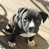 Adopt A Pet :: Puppies - Reisterstown, MD