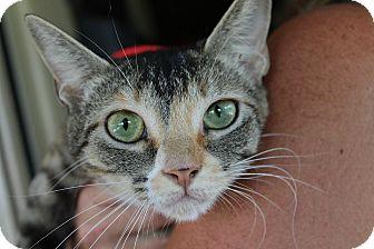 Domestic Shorthair Cat for adoption in Ocean Springs, Mississippi - Sylvia