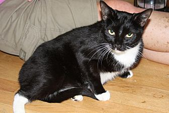 Domestic Shorthair Cat for adoption in Torrance, California - Meep