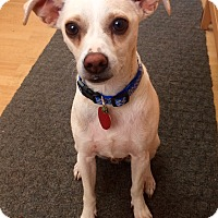 Adopt A Pet :: Shorty in CT - Manchester, CT