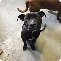 Adopt A Pet :: Kaizer - Staunton, VA