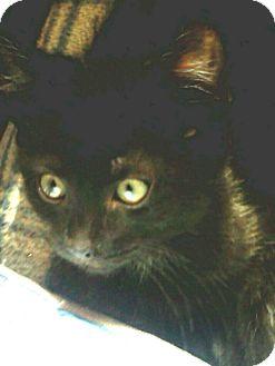 Domestic Shorthair Kitten for adoption in Columbus, Ohio - Perfect Charlene