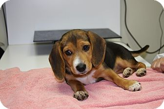 Beagle Puppy for adoption in Portland, Oregon - Annie