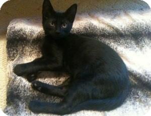 Bombay Kitten for adoption in Denton, Texas - Gaspar
