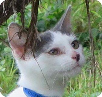 Domestic Shorthair Cat for adoption in Gonzales, Texas - Ellijah