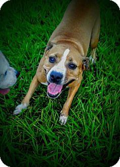 Boxer/Terrier (Unknown Type, Medium) Mix Dog for adoption in Miami, Florida - Nala