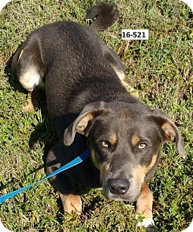 Labrador Retriever/Husky Mix Dog for adoption in Cannelton, Indiana - Snickers