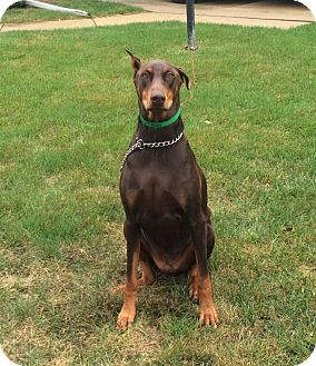 Doberman Pinscher Dog for adoption in Barrington, Illinois - Rocky