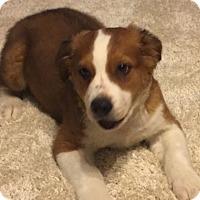 Adopt A Pet :: Wilson pending adoption - Manchester, CT