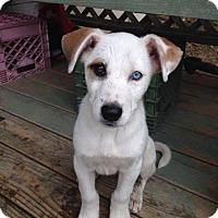 Adopt A Pet :: Boomer - Rexford, NY