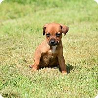 Adopt A Pet :: Meiko - Groton, MA
