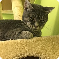 Domestic Shorthair Cat for adoption in Newburgh, Indiana - Easter