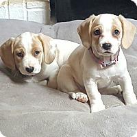 Adopt A Pet :: Sofie Cocker - Acworth, GA