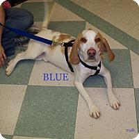 Adopt A Pet :: BLUE - Ventnor City, NJ