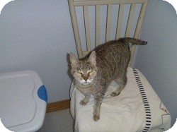 Domestic Shorthair Cat for adoption in Hamburg, New York - Lori