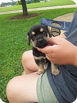 Shepherd (Unknown Type)/Golden Retriever Mix Puppy for adoption in Indian Trail, North Carolina - Rex