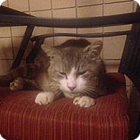 Adopt A Pet :: Sylvester - Laguna Woods, CA