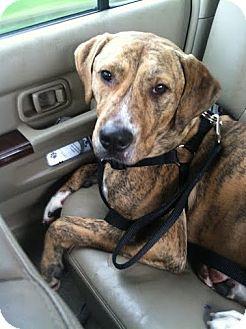 Plott Hound Dog for adoption in cleveland, Ohio - Able