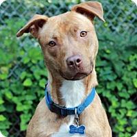 Adopt A Pet :: Cali - Port Washington, NY