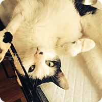 Domestic Shorthair Cat for adoption in Brooklyn, New York - Hudson
