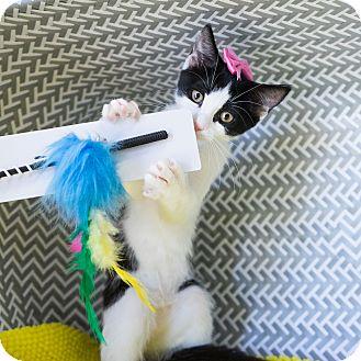 Domestic Shorthair Kitten for adoption in Montclair, California - Mushroom