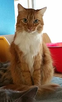 Domestic Longhair Cat for adoption in Los Angeles, California - Prince