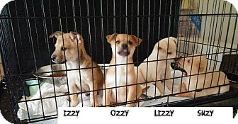 Chihuahua Mix Puppy for adoption in Danbury, Connecticut - Ozzy