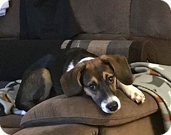 Beagle Mix Dog for adoption in Vandalia, Illinois - Sadie