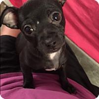 Adopt A Pet :: Phoebe - Las Vegas, NV