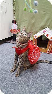 Domestic Shorthair Cat for adoption in Pasadena, California - Nora
