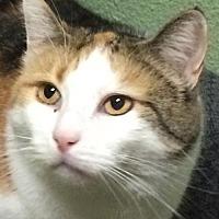 Calico Cat for adoption in Auburn, California - Rose