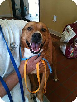 Retriever (Unknown Type)/Labrador Retriever Mix Dog for adoption in Phoenix, Arizona - Frankie