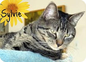 Domestic Shorthair Cat for adoption in River Edge, New Jersey - Sylvie