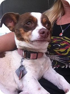 Chihuahua Mix Dog for adoption in Alamogordo, New Mexico - Sam